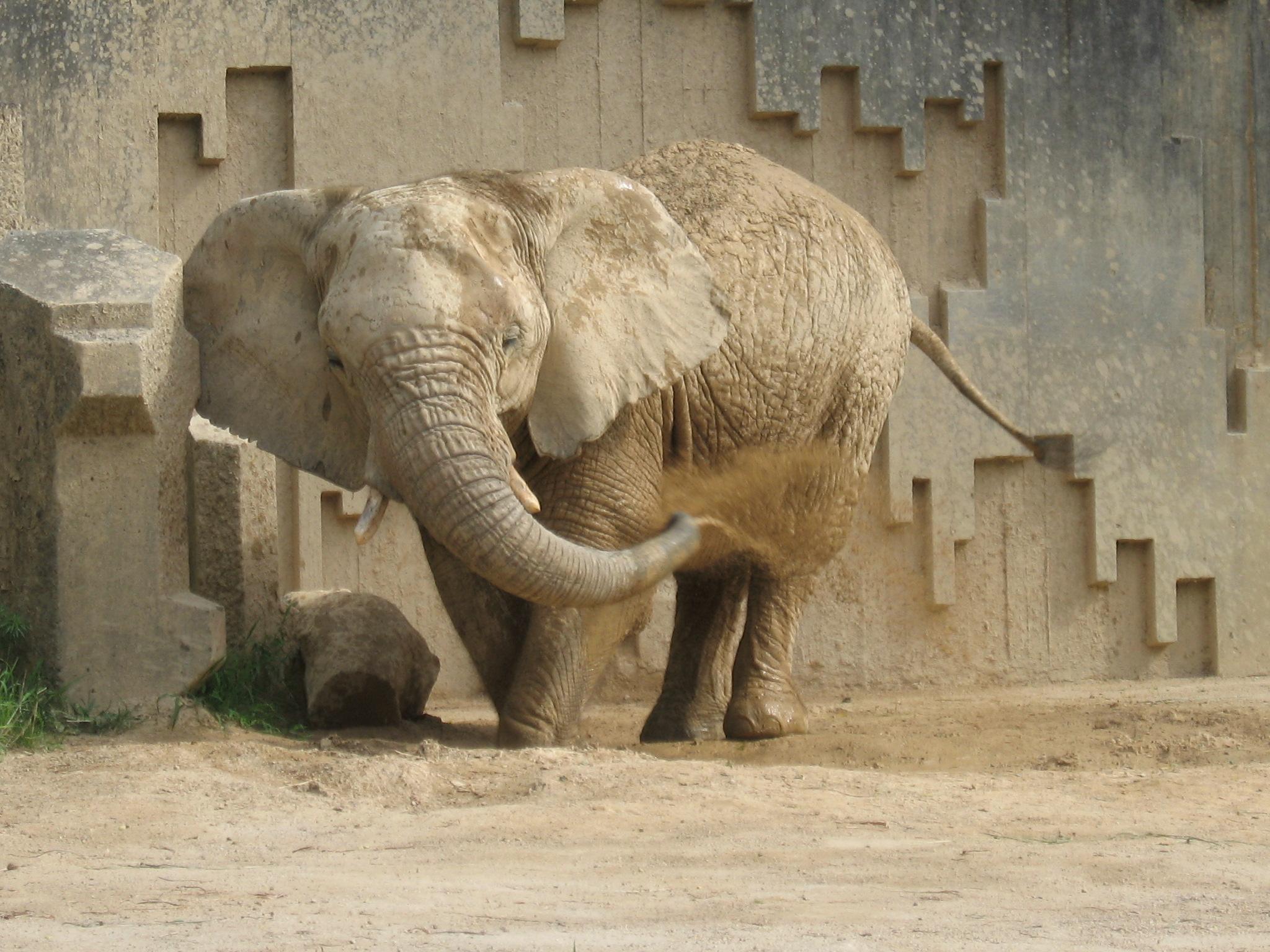 アフリカゾウのケニー、来園40年お祝い会を開催します