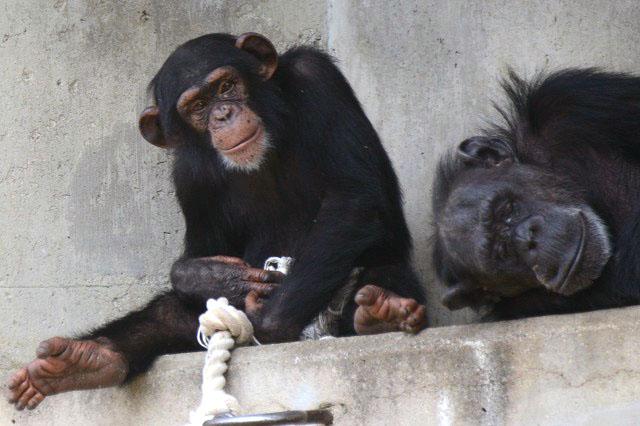 チンパンジーのリキの誕生会を開催します