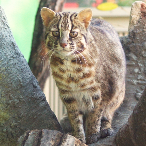 東山動植物園公開講座「ツシマヤマネコって知ってる?」を開催します