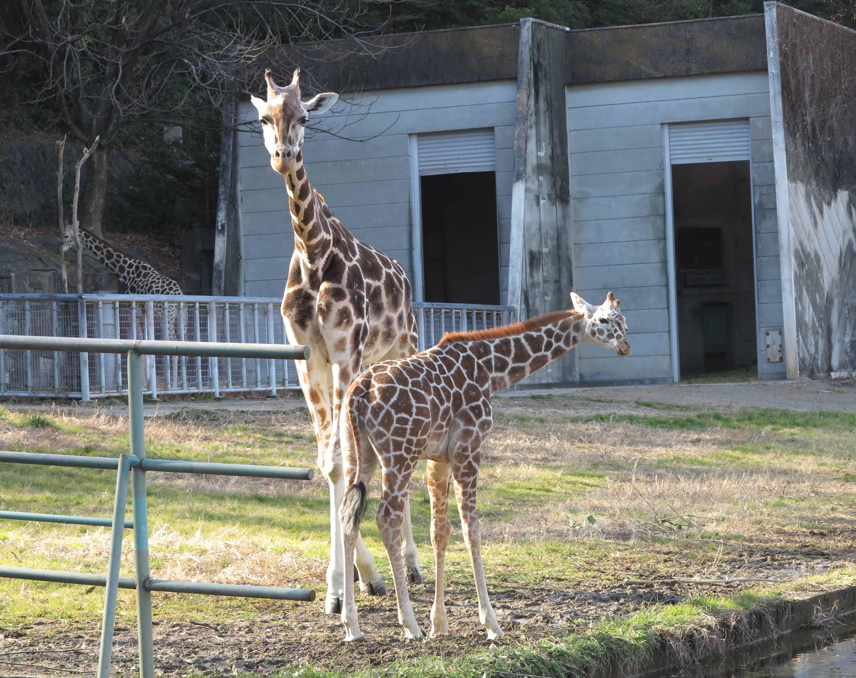 東山動植物園公開講座「アミメキリン『ジュラ』の誕生から旅立ちまで」を開催します