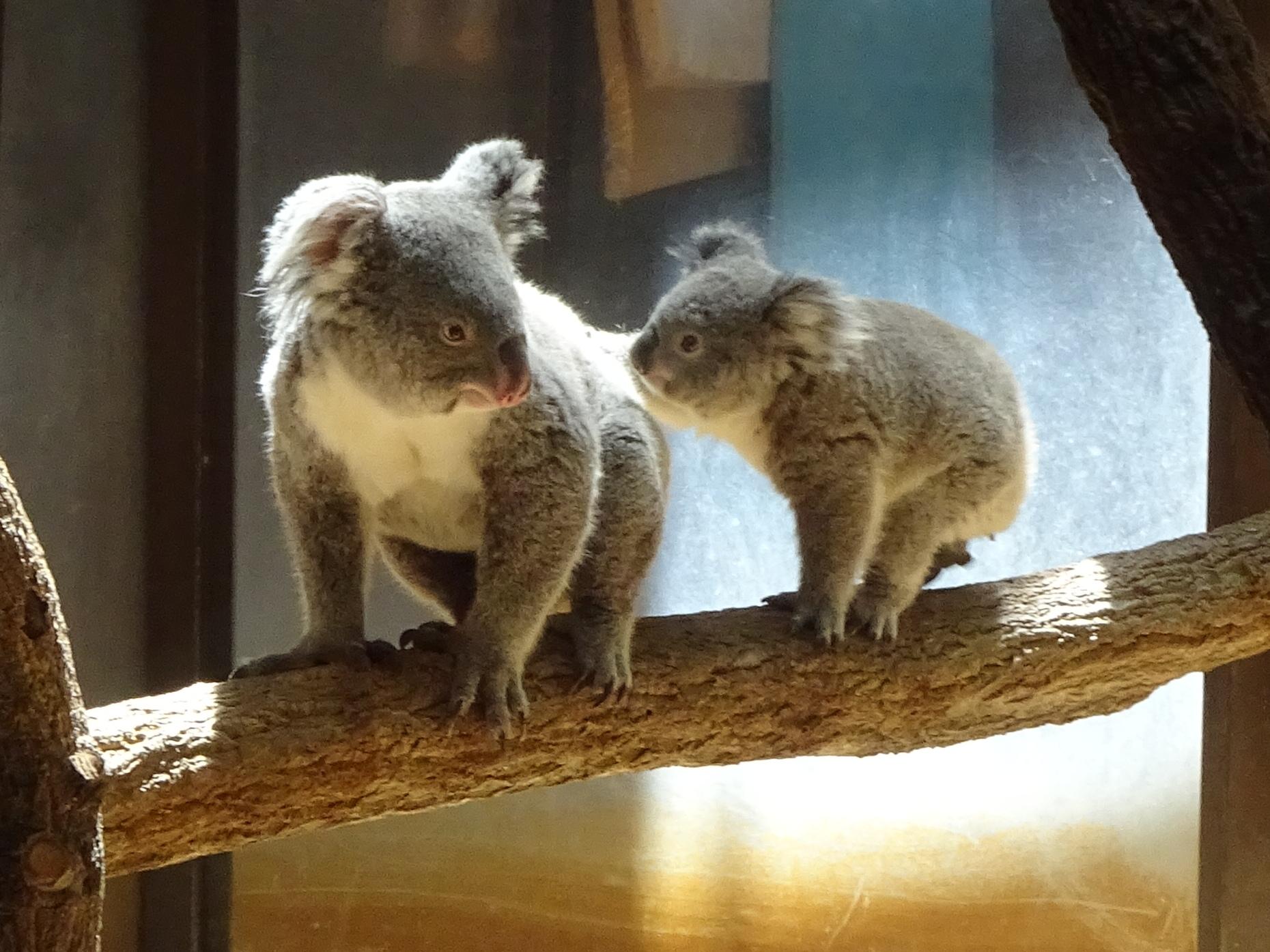 東山動植物園公開講座<br />「コアラのお話」を開催します