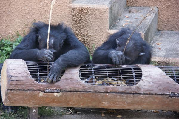 チンパンジーの倒木パズル<br />(平成19年10月設置)